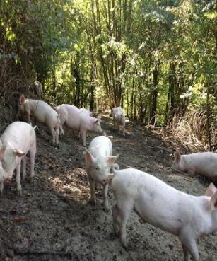 Sequestrati gli scarichi di un allevamento intensivo di suini