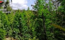 Marijuana: altre cinque piantagioni trovate a Fabrizia e Nardodipace
