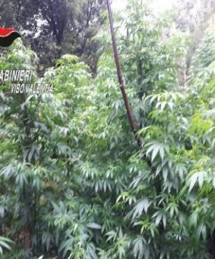 Droga, scoperte mille piante di canapa nel Vibonese