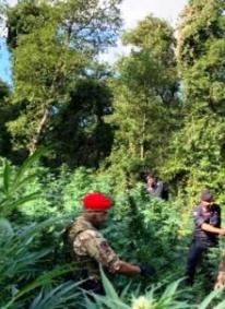 Cetraro. Vasta piantagione di marijuana